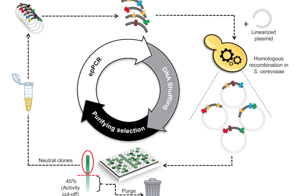 Shuffling the neutral drift of unspecific peroxygenase in Saccharomyces cerevisiae